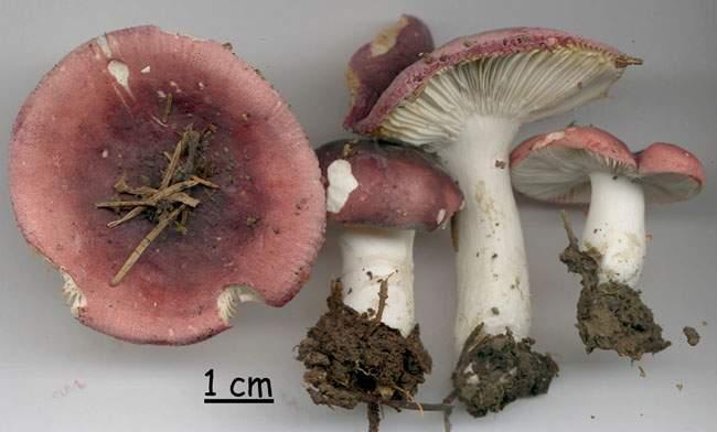 Russula azurea