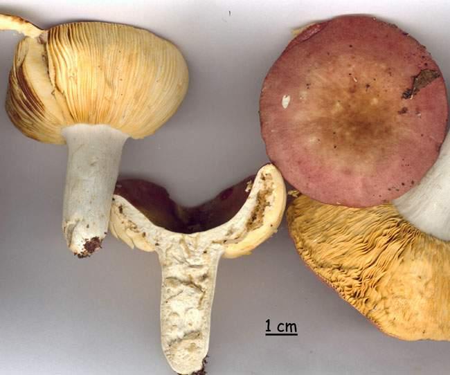 Russula decipiens