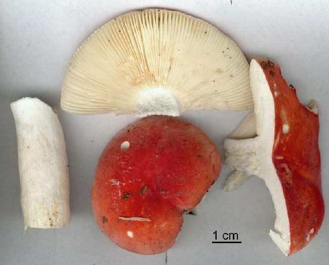 Russula rubra